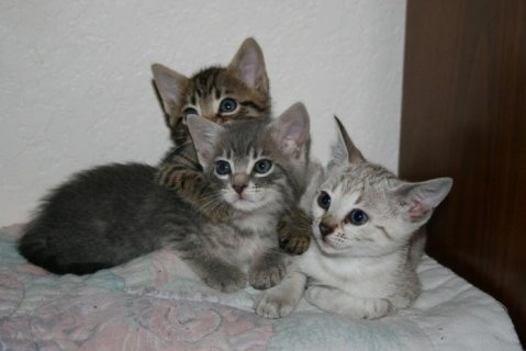 Rosetted Toyger Kittens Available for Adoption