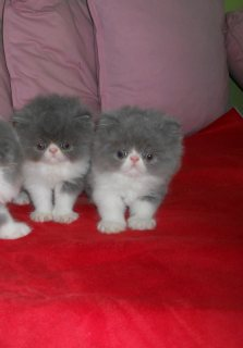 Adorable Persian Kitten for adoption