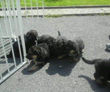 ONLY 2 LEFT GERMAN SHEPARD PUPS
