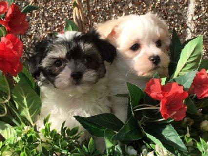Beautiful Maltese cross shitzu puppies.