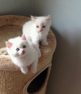 male and female persian kitten available
