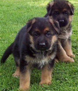 German Shepherd Puppies available male and female cute