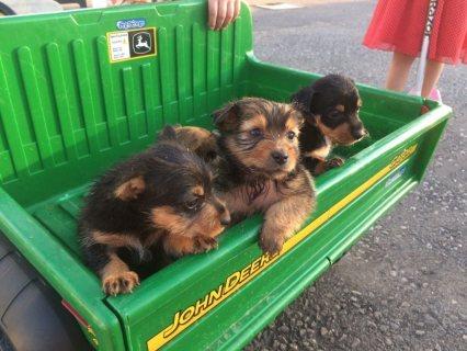 Border terrier x cross miniature Jack Russell pups  puppies boy