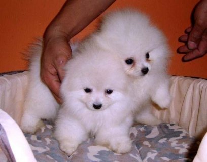 Teacup Sized Pomeranian Puppies for rehoming