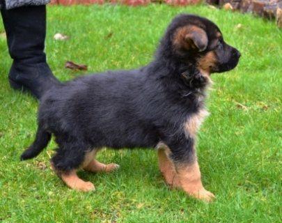 Good looking German Shepherd puppies