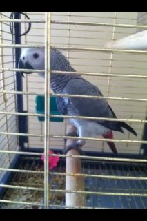 Am selling my african grey parrot