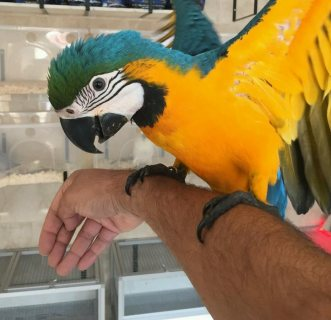 Stunning Gold and Blue Macaw for sale.