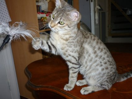 صور Savannah Kittens for Adoption 1