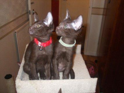 Havana Brown Kittens for adoption