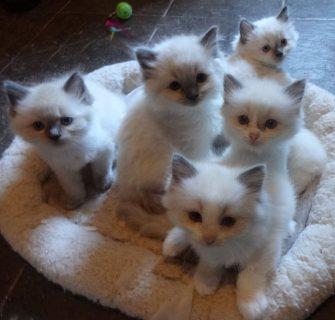 Ragdoll Kittens cute for adoption