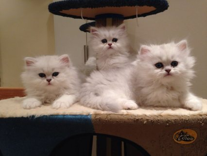 lovely  male and female persian kittens for Adoption