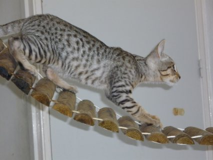 We offer Savannah Kittens from F1 to F4 for Adoption