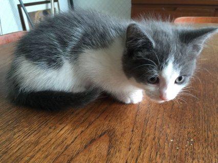 Home Raised Ragdoll Kittens for kitten