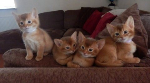 Abyssinian Kittens for Adoption