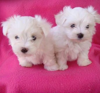 Adorable Teacup Maltese Puppies Available