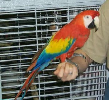 Singing Scarlet Macaw Parrots