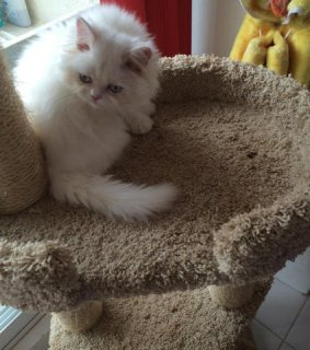 Cute Persian  Available