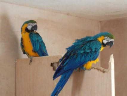 Hand-rared pair of blue and gold Macaws