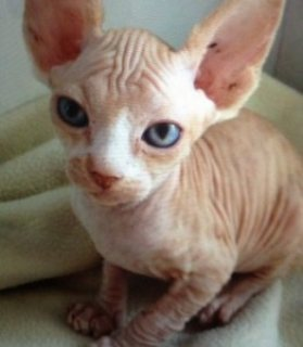 cute Bold and Wrinkly Sphynx Kittens  Bold Sphynx kittens. Males