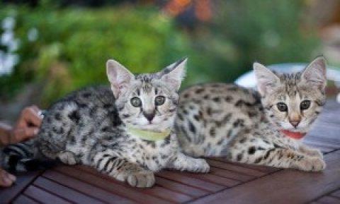 Super Cute F1 Savannah and Serval Kittens