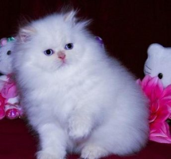 Sweet PERSIAN Kittens available here