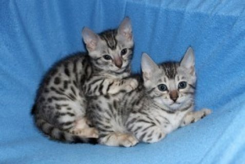 Bengal kitten is now ready to go Homes