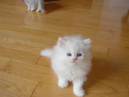 CFA Reg DOll Face & Teacup Persian kittens Free to go now‏‏