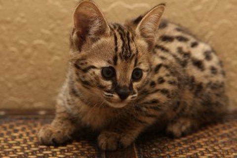 Brown And Silver Savannah Kittens