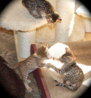Savannah kittens registered
