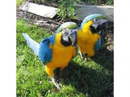2 Speaking parrots for adoption scarlet macaws