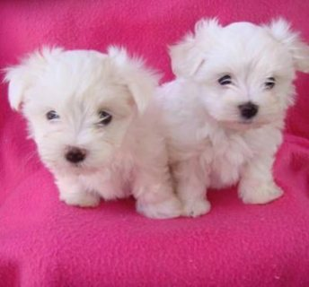 Teacup Maltese Puppies Available for adoption