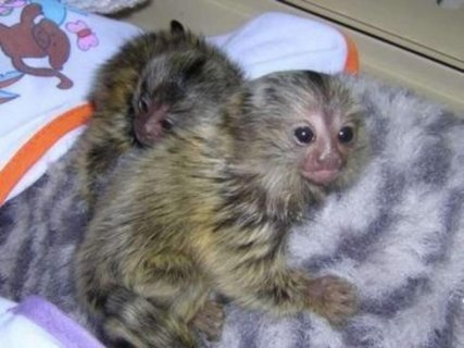 marmoset monkey good for adoption