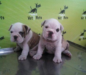 English Bulldog females available