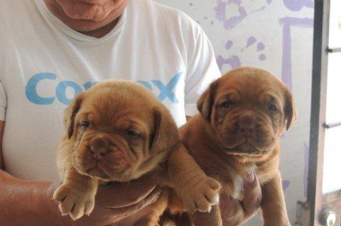 burgundy molosos bulldog puppies good for adoption
