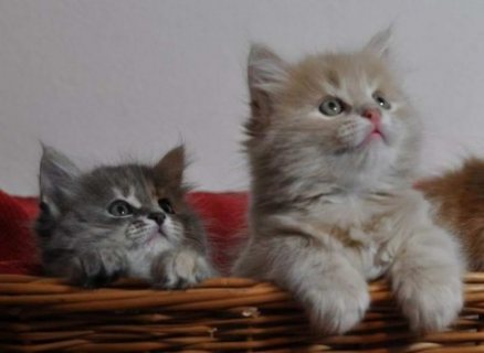Two Siberian Kittens ready to go