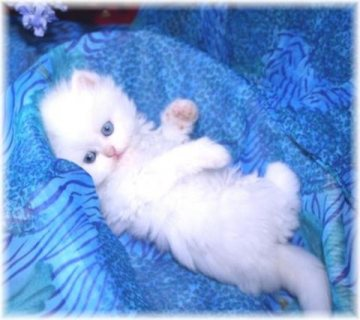 Cute Male And Female Persian Kittens For Good Rehoming...,.