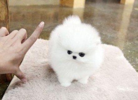 Teacup Pomeranian puppies,I have 3 adorable Pomeranian puppies;
