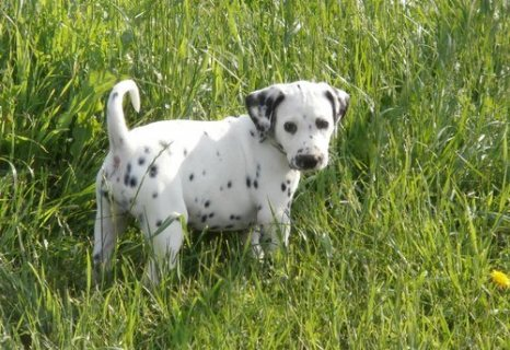 adorable dalmatian puppies for sale././/./.