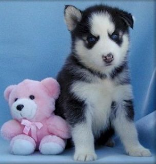 *** Super Siberian Husky Puppies Now Available for sale*****