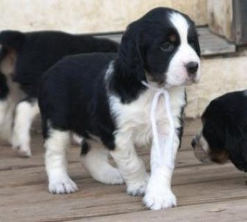 Male and female English Springer Spaniel puppies for sale.