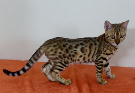 Male and Female Bengal Cats for adoption