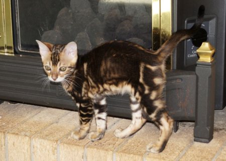 صور Sweet Bengal Kittens for Adoption 1