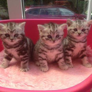 British Shorthair kittens for good homes