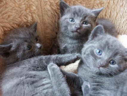 Russian Blue Kitten for your home