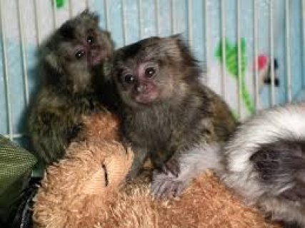 Do Not Miss This Babies marmoset monkeys
