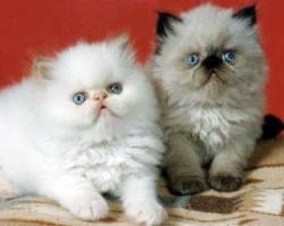 صور Himalayan Kittens for adoption Contact (jasonblere9@>g>m>a>i>l.c 1