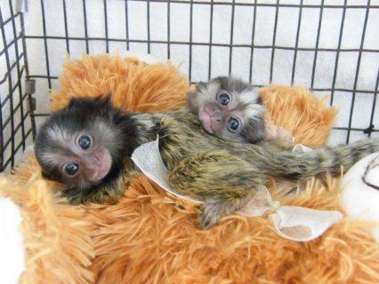 Marmoset Monkey for Sale