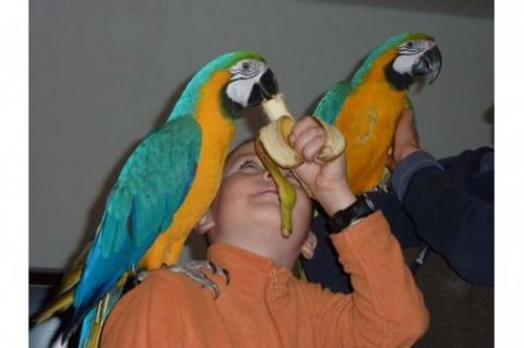Blue and gold macaws available