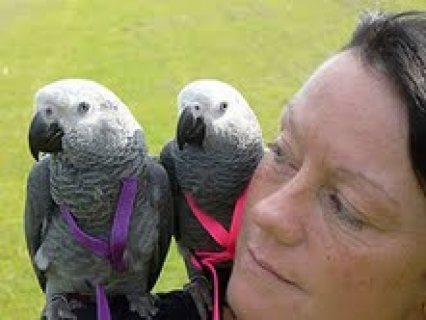 African grey parrots