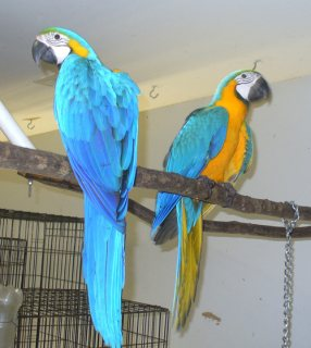 EDUCATIVE AND TALKING MACAW PARROTS SUITABLE FOR SALE